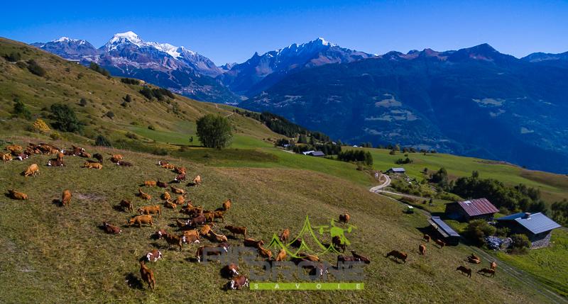 Troupeau vaches en montagne